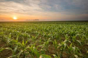 Scenic view of corn plants on field. Crops are at farm against sky. Idyllic view of agricultural field during sunset.
