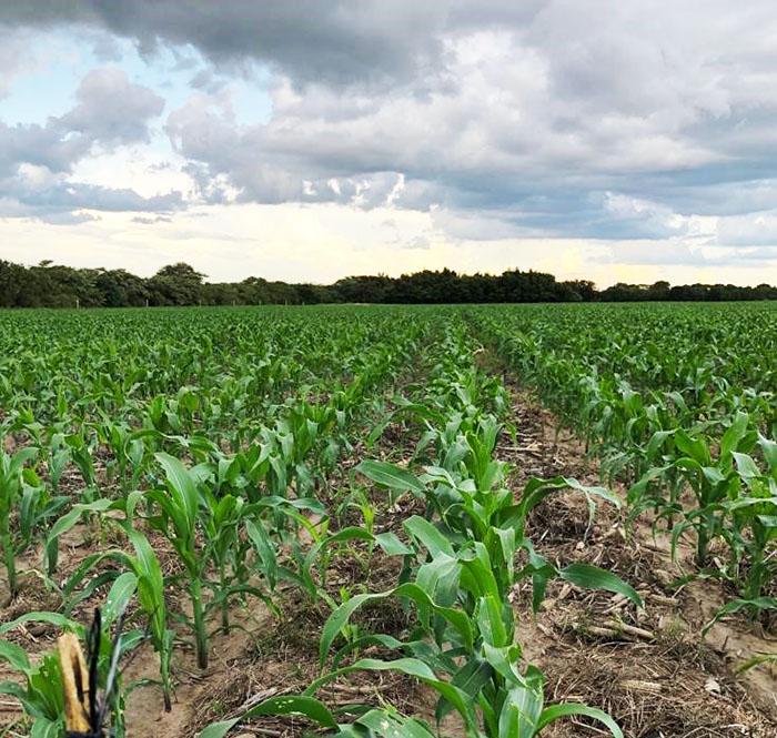 Crop Tour maize plot in Zambia