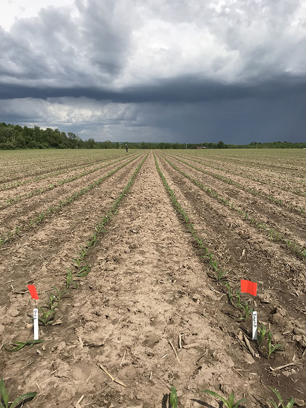 Flags mark comparison rows in 2019 AGCO Crop Tour tillage trial plot.